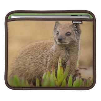 Yellow Mongoose Juvenile Amongst Figs, De Hoop iPad Sleeve
