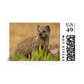Yellow Mongoose Juvenile Amongst Figs, De Hoop Postage