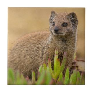 Yellow Mongoose Juvenile Amongst Figs, De Hoop Tile