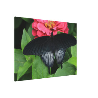 Yellow Mormon Swallowtail Butterfly(Male) Canvas Print
