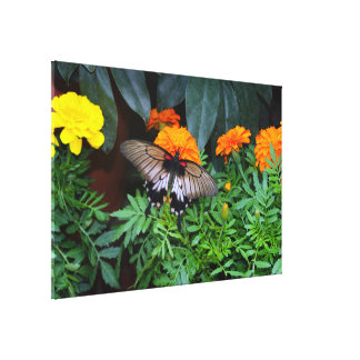 Yellow Mormon Swallowtail Butterfly with Marigolds Canvas Print