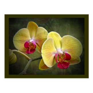 Yellow Moth Orchids - Phalaenopsis Postcards