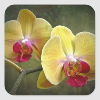 Yellow Moth Orchids - Phalaenopsis Square Sticker