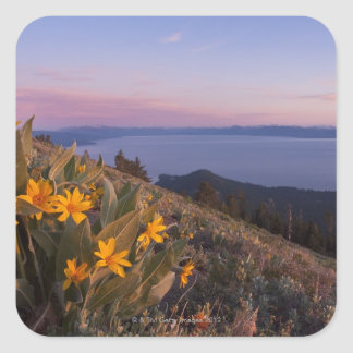 Yellow Mules Ear Flowers at Sunset Square Stickers