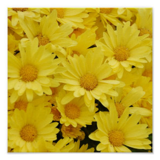 Yellow Mums Photo Print