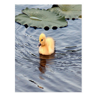 Yellow Muscovy Duckling Photo Postcard
