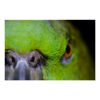 Yellow-Naped Amazon Parrot by Shirley Taylor Poster