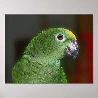 Yellow Naped Amazon Parrot Close Up Bird Poster