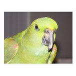 Yellow-Naped Amazon Parrot Postcard