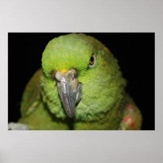 Yellow-Naped Amazon Parrot Poster