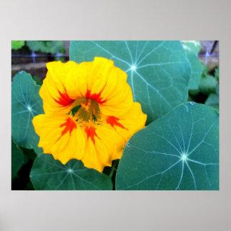 Yellow Nasturtium Flower and Leaves Poster