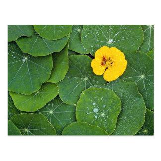 Yellow nasturtium flower on bed of nasturtium leav postcard