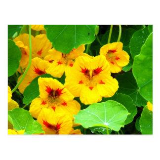 Yellow Nasturtiums Postcard