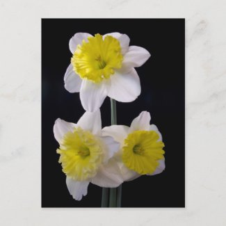 Yellow on White Daffodil zazzle_postcard