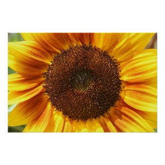 Yellow, Orange, and Brown Sunflower Closeup Poster