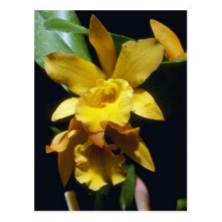 yellow Orange Nugget (Brassocattleya) flowers Postcard