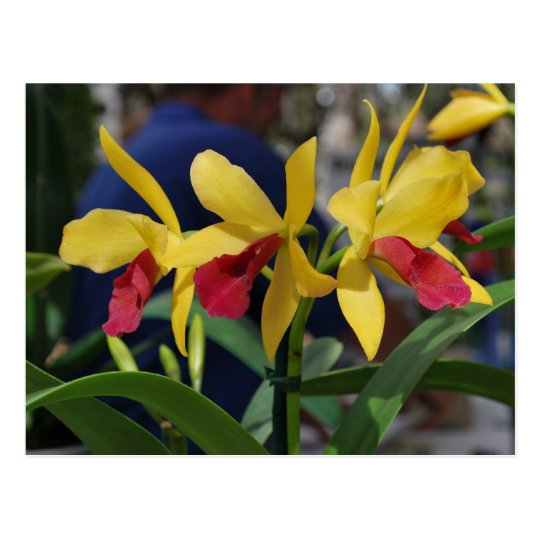 Yellow Orchid from Vero Beach, FL Postcard