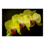 Yellow Orchid - Poster