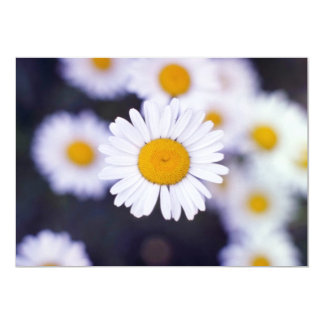 Yellow Ox-Eye Daisy (Leucanthemum Vulgare) flowers 5x7 Paper Invitation Card