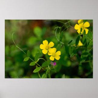 Yellow Oxalis & Everlasting Pea Wildflowers Poster