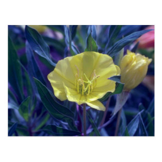 yellow Ozark Sundrops, (Oenothera Macrocarpa) flow Postcard