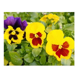 yellow Pansies flowers Postcards