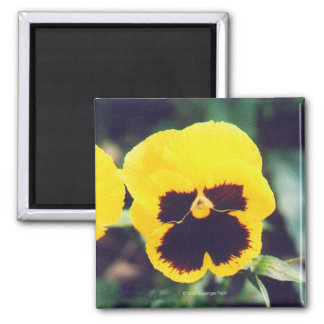 Yellow Pansy 2 Inch Square Magnet