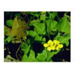 yellow Pennsylvania Yellow Violet (Viola Pennsylva Postcard