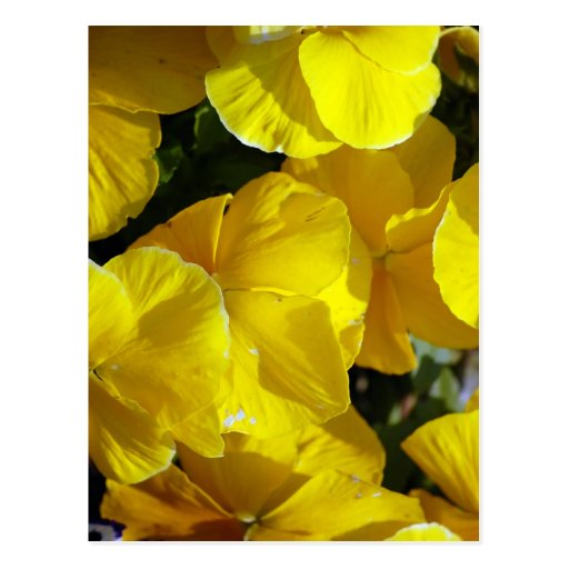 Yellow-petals529 YELLOW PANSIES FLOWERS PHOTOGRAPH Post Card