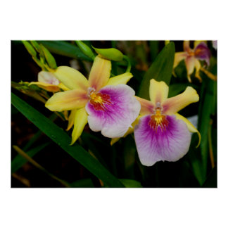 Yellow Pink Purple Miltonia Sunset Orchids Poster