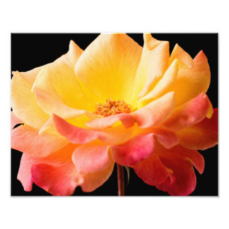 Yellow Pink Rose Flower Black Background Floral Photo Print