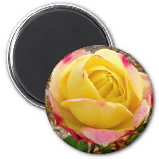 Yellow Pink tipped Rose 2 Inch Round Magnet