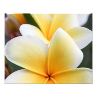 Yellow Plumeria Flower Frangipani Floral Design Photo Print