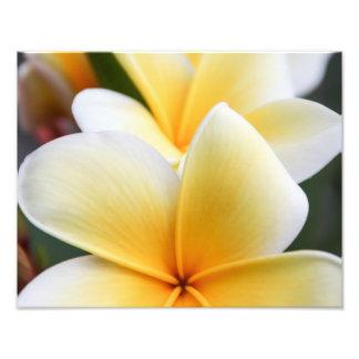 Yellow Plumeria Flower Frangipani Floral Design Photo Print