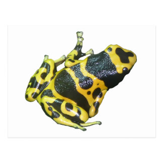 Yellow Poison Dart Arrow Frog isolated Postcard