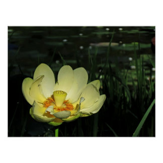Yellow Pond Lotus Blossom Poster Print
