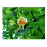 Yellow Poplar Tulip postcard