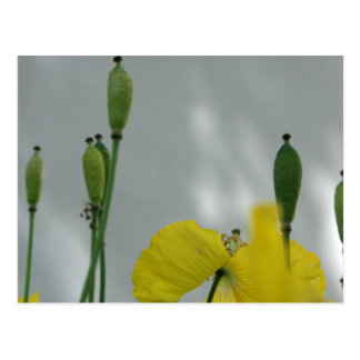 Yellow Poppies shade 1 Postcard