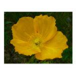 Yellow Poppy Pretty Alaskan Wildflower Postcard