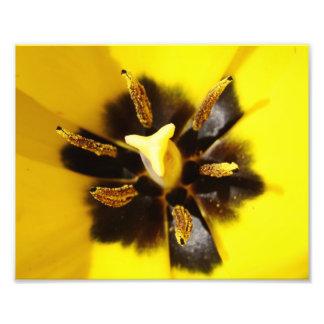 Yellow Pow Tulip Photo Print