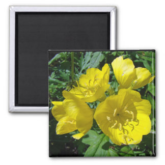 Yellow Primroses - Sundrops 2 Inch Square Magnet