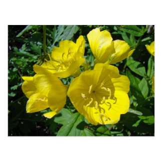 Yellow Primroses - Sundrops Postcard