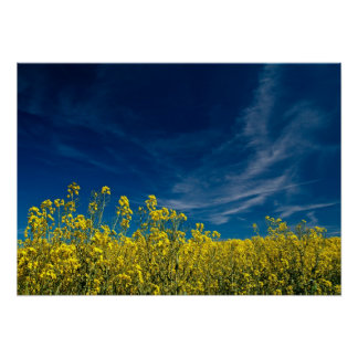 Yellow rape field with blue sky poster