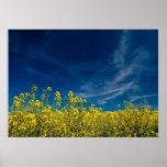 Yellow rape field with blue sky print