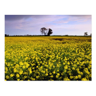 yellow Rape fields Cambs England flowers Post Card