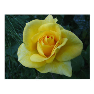 Yellow Rose2 Postcard