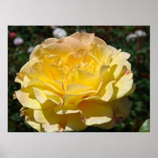 Yellow Rose art prints framed Roses Garden Poster
