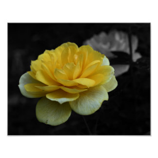 Yellow Rose Black And White Flower Poster