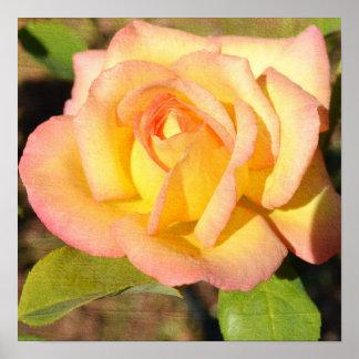 Yellow Rose Bloom Poster