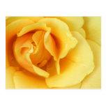 Yellow Rose Blossom Postcard